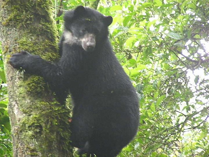 ¡Captan imagen del único oso nativo en el Valle!