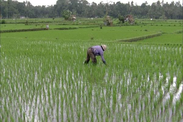 Cultivos de arroz trigo y algod n son los que m s for Que son cultivos asociados