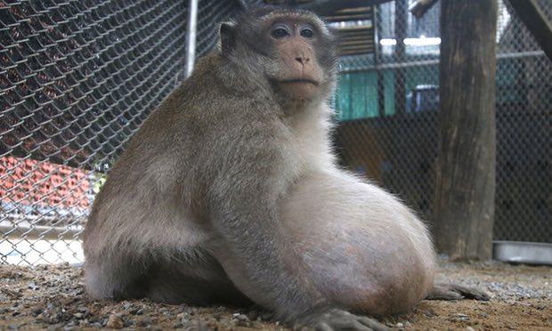 Turismo irresponsable, la causa de obesidad morbida de un mono en Tailandia