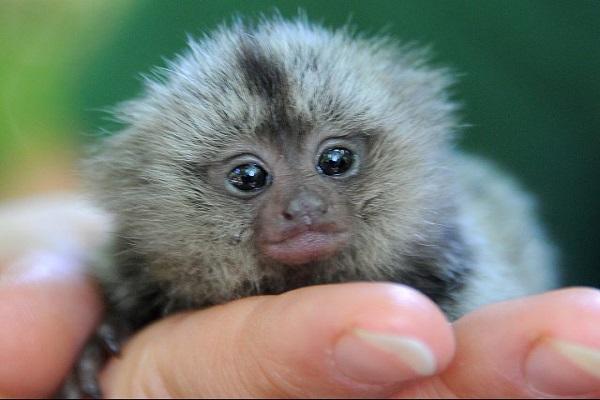 Piden traslado urgente de Mono tití cabeciblanco rescatado en malas condiciones