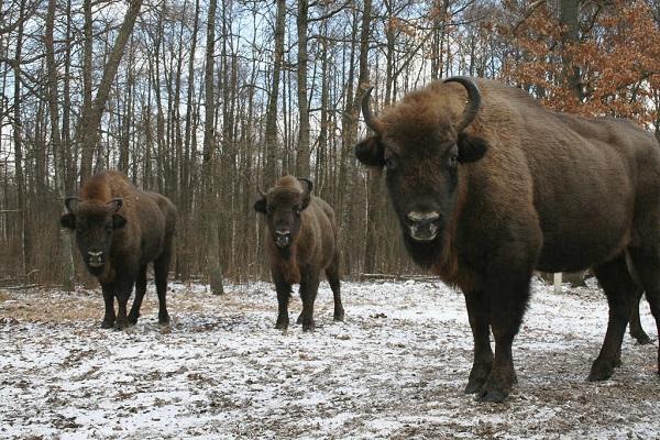 Comienzan talas en Bialowieza, último bosque virgen de Europa