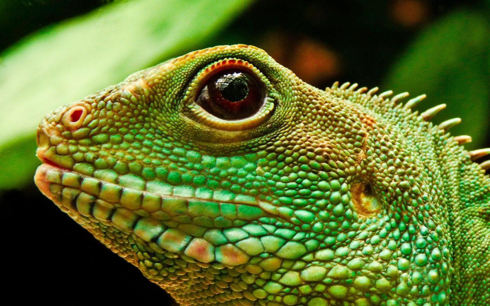 """Con """"cirugía"""" dolorosa, a iguanas ya les han sacado 22.000 huevos que han sido decomisados"""