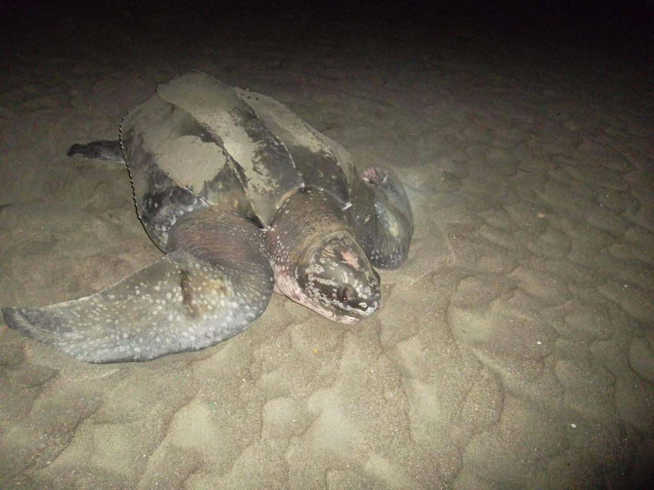 Impacta tortuga 'gigante' que regresó a su lugar de nacimiento en el Rodadero